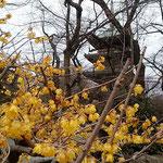競い咲く蠟梅の向こうに旧上野寛永寺の五重塔が見えました。      ・黄金の蠟梅の香のほのかなる(和良)