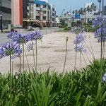 阿波おどり会館前の花壇にアガパンサスの花が咲いていました。     。梅雨晴れにアガパンサスの煌めける(和良)