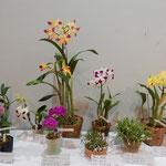 展示会に飾られた蘭の種類の多さにはびっくりしました。 ・室咲の蘭の種類のこんなにも(和良)