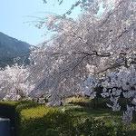 神山温泉の裏にあるしだれ桜の庭園では鶯が盛んに鳴いていました。   ・鶯もしだれ桜も飽きるほど(和良)