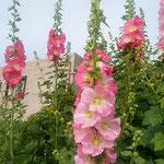 藍住町の自宅の近くで見た大きな立葵です。綺麗でした。  ・洋館の前に群れ咲き立葵(和良)