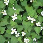 皇居東御苑で見た十薬です。白い十文字の花が輝いて見えました。          ・十薬の白の浮き出る昼の闇(和良)