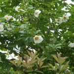八王子市で見た沙羅の花です。白い花の爽やかさが印象に残りました。  ・白てふは清楚な色よ沙羅の花(和良)