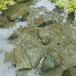 吉野川市鴨島町の江川湧水源では清水が涌き出ていました。 ・次々に水輪の生まれ清水湧く(和良)