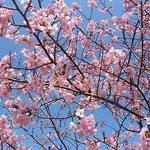 板野町で見た早咲きの桜です。赤い花が青空に映えていました。     ・早咲きの桜は赤く空青し(和良)
