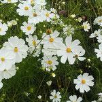 吉野川市の藤井寺の門前の畑にコスモスが咲いていました。       ・コスモスの白のまぶしき在所かな(和良)