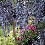 東京は江東区・亀戸で見た藤の花です。すごい人出でした。 ・藤揺れてシャッターの音止まりけり(和良)