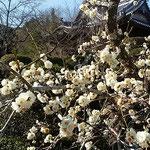 吉野川市鴨島町の玉林寺の境内に白梅が咲いていました。 ・白梅の香る古刹の静けさよ(和良)