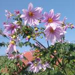 高々と咲く皇帝ダリアは真っ青な冬空に映えていました。   ・冬晴れの空に皇帝ダリアかな(和良)