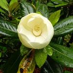 雨が降ると泰山木の花は一層白く輝いて見えました。            ・雨の日の泰山木の白さかな(和良)