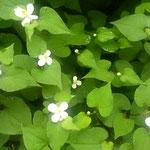 雨の日の十薬の花は一段と輝いて見えました。             ・雨の日の十薬の花白眩し(和良)