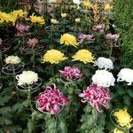 吉野川市鴨島町の菊花展には蕾の菊や満開の菊が展示されていました。 ・蕾あり満開ありの菊花展(和良)