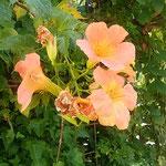 徳島市中央公園の凌霄花です。次々に咲き継がれていました。 ・のうぜんの昨日も今日も花盛り(和良)