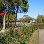 徳島城公園の薔薇園で見た赤い薔薇です。                                       ・秋空へリンカーンてふ薔薇の赤(和良)