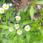 山頂の松本巨草さんの句碑への小径に野菊が咲いていました。 ・山頂の句碑への小径野菊咲く(和良)