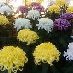 満開の菊よりも満開少し前の菊の方が勢いがあるように見えました。   ・九分咲きの菊に勢のありにけり(和良)