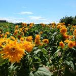 イングランドの丘では残った向日葵が一生懸命に咲いていました。    ・向日葵の果つるまで黄を貫ける(和良)