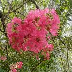 江川・鴨島公園の百日紅は梅雨明けの空に輝いて見えました。 ・梅雨明けの空にまぶしき百日紅(和良)