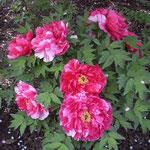 鶴岡八幡宮の牡丹庭園では赤い牡丹に白い花びらが舞い降りていました。  ・ぼうたんに花落つることしきりなる(和良)