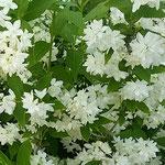藍住町の自宅周辺を散歩していると卯の花が咲いていました。 ・ひっそりと卯の花の咲く旧家かな(和良)