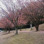 徳島城公園の助任川南岸の蜂須賀桜は葉桜になっていました。 ・葉桜も赤き蜂須賀桜かな(和良)