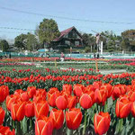 北島町のチューリップ公園です。たくさんの方々が見に来ていました。 ・赤白黄整列上手チューリップ(和良)