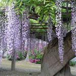石井町の地福寺にある樹齢二百年の藤です。今年も見事に咲きました。  ・蜂須賀の世より伝へて藤の寺(和良)