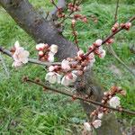 一本の早梅が吟行する人たちの視線を集めていました。                ・早咲きの梅に集まる視線かな(和良)