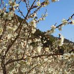 カルストの台地にある阿南市の明谷梅林で満開に咲き満ちた白梅を見ました。       ・カルストの大地耕し梅咲かす(和良)
