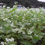 八王子市の多摩川河川敷で見た蕎麦の花です。風にそよいでいました。  ・吹かれても吹かれてもなほ蕎麦の花 (和良)