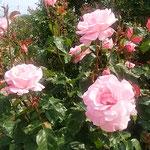 藍住町の薔薇園でクイーンエリザベスという薔薇を見ました。      ・クイーンエリザベスなるは一際高き薔薇(和良)
