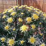 菊花展には菊人形と共に様々な菊の花壇が展示されていました。     ・始まりは二分咲きもあり菊花展(和良)