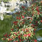 徳島市中央公園にある御殿庭園では黐が実をつけていました。                            ・冬枯れの園に黐の実真っ赤かな(和良)
