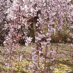 しだれ桜に二羽の頬白が来てちょこちょこと枝を飛び回っていました。  ・頬白の白の際立つ桜かな(和良)