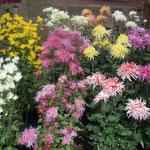 嵯峨菊や伊勢菊などの古代菊も展示されていました。                    ・嵯峨菊の心細げに咲きゐたる(和良)