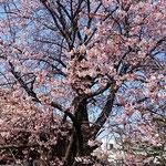 蜂須賀の殿様から授かったこの蜂須賀桜は樹齢250年と推定されます。  ・蜂須賀の世より伝へて初桜(和良)
