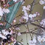 藍住町の日本料理店の玄関の桜は竹と共に大甕に活けられていました。  ・大甕に初桜活け玄関に(和良)