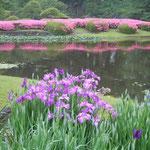 東御苑ではさつき明りの池を背景に花菖蒲が咲き始めていました。  ・つくづくと紫がよき花菖蒲(和良)