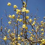 吉野川市の藤井寺で満開の蝋梅を見ました。青空に映えていました。  ・蝋梅の透けゆく空の青さかな(和良)