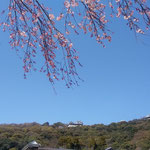 愛媛県美術館前の広場から見た松山城です。桜が綺麗でした。        ・おおらかや子規の愛せし城の春(和良)