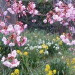 開花の遅かった蜂須賀桜ですが、好天に恵まれ一度に咲きそろいました。  ・見るうちにつぼみ膨らむ花日和(和良)