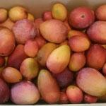 段ボール箱に一杯のマンゴーが沖縄の友人から届けられました。     。琉球のマンゴーですとお裾分け(和良)