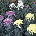吉野川市鴨島町の菊人形展には今年もたくさんの菊が並んでいました。  ・色形同じものなき菊花展 (和良)