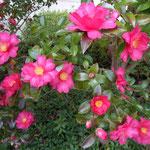 文化の森では山茶花がまだ咲き続けていました。                        ・山茶花の散り満ちてなほ咲き満てる(和良)