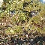 新宿御苑の大銀杏の下は絨毯のように落葉が積もっていました。     ・黄落の絨毯なりし御苑かな(和良)