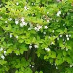 渭水苑の日本庭園には満天星が鈴のような花をつけていました。     ・満天星の真白き鈴の犇めける(和良)