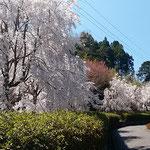 神山町の神山温泉の裏の庭園にしだれ桜が咲き満ちていました。     ・咲き満てるしだれ桜の艶やかさ(和良)