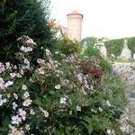 ポーランド王国の首都だったクラクフのヴァヴェル城です。       ・秋明菊群れ咲く城の庭園に(和良)