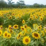 鳴門市のウチノ海総合公園で見た向日葵です。             ・向日葵の顔を揃へて咲き揃ふ(和良)