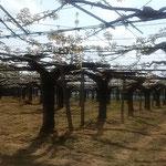 授粉作業の終ったばかりの梨棚の梨の花は輝いて見えました。 ・授粉せしばかりの梨の花に風(和良)
